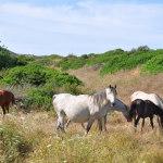 cavalli fornelli